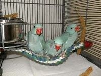baby blue ringneck parrots 12 weeks old males and females with hatching certificates