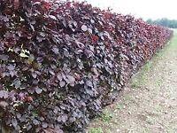 Copper beech Hedging plants