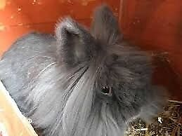 LONG HAIRED SMOKY GREY FEMALE RABBIT WITH FLOPPY EARS