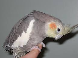 Female cockatiel to good home!