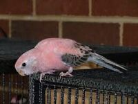 Adult Female Rosey  Bourke  in excellent condition delivery aval