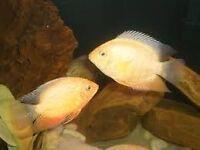 Gold Severum Cichlids