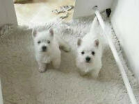 2 west highland white terrier puppies both female for rehoming