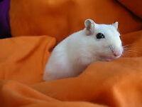 pure white baby gerbils ,girls