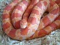Amel male corn snake for sale