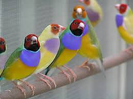 Gouldian Finches for sale Grafton Clarence Valley Preview
