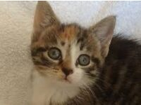 Black Brown & White Female Kitten