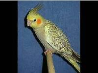 6 Months old cockatiel for sale