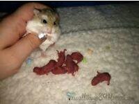 roboroski dwarf hampsters