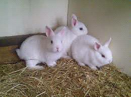 Assorted Colour Netherland Rabbit's $25 Each  Noble Park Greater Dandenong Preview