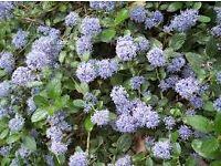ceanothus evergreen flowering shrub plant