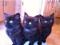 persian mix kitten dark choclate brown