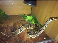 4ft Male Royal Python C/W Viv/Heat rock, heat mat, driftwood, spare bark etc