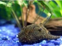 Bristlenose pleco for sale for cleaning fish tank aquarium kof
