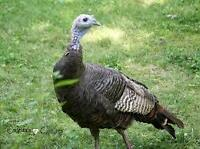 1 Wild Turkey Hen for sale