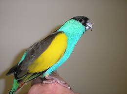 Hooded Parrot male Gympie Gympie Area Preview