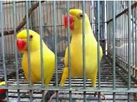 yellow baby ringneck parrots 12 weeks old males and females easy to train with papers