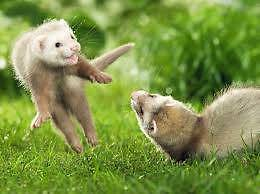wanted baby ferret Yanderra Wollondilly Area Preview