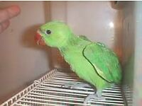 green baby ringneck parrots 12 weeks old males and females easy to train with papers