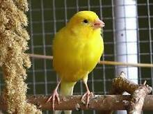 Free 2 Canaries Gunalda Gympie Area Preview