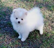 LTB:  Female Pomeranian Puppy Gelorup Capel Area Preview