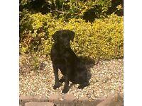 Handsome Kc reg Male black Labrador