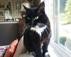 """Adult Female Cat - Domestic Short Hair-black and white: """"Lexi"""""""