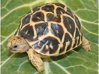 Indian Star Tortoise 6 Months Old