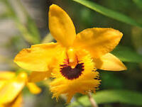 Orchid Plants from Seed or Clones