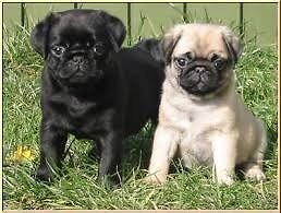 Pug Puppy wanted Coombabah Gold Coast North Preview