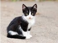 Lovely black and white male kitten for sale. The kitten is litter train and he is also dewormed.
