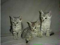 Bengal snow silver kitten