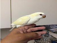 Handtame Baby Quaker Parrots