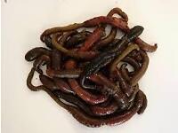 sea fishing baits ragworm and lugworm