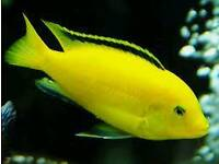 AFRICAN CICHLIDS ELECTRIC YELLOW LABS