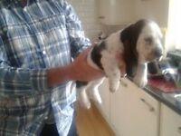 kc Registered Basset Hound Puppies