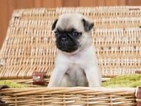 Light Fawn KC Pug Puppy - Ready Now