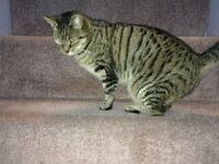 Urgent home needed for Beautiful Young Tabby Cat