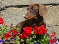 Miniature dachund girl puppy