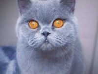 British Shorthair kittens The McVities Advert fabulous Quality