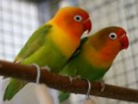 Two Breeding Love Birds For Sale