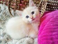 *Ready Now!* Beautiful Apricot and Cream Kittens from Pedigree Parents