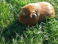 Beautiful Guinea Pig For Sale!