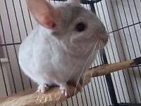Two Gorgeous Male Chinchillas