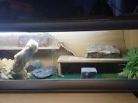 Bearded dragon and full setup for sale