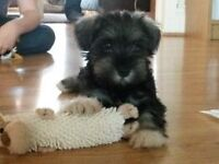 Beautiful kc registered miniature schnauzer puppies available