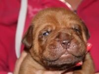 6 chunky Dogue De Boardeauxs puppies for sale