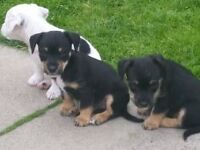 Jack Russell x terriers female pups