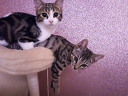 Two beautiful 3 month old kittens must go together EVERYTHING INCLUDED