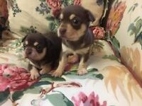 3 smooth coat chihuahua puppies still available